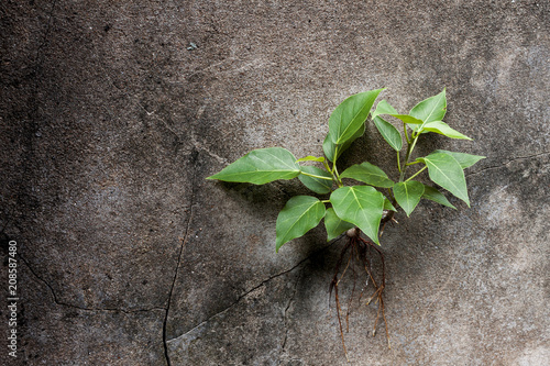 Obraz na plátne Young Bodhi tree grows in a cracked on the wall