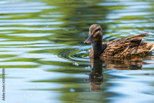 Photo Wild duck or Anas platyrhynchos swimming in the water of lake.