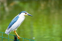 Black-crowned Night Heron Or Nycticorax Nycticorax