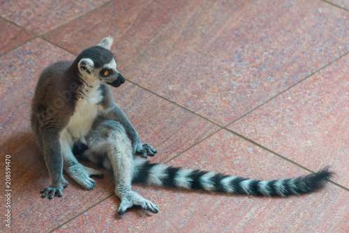 Ring-tailed Lemur or Lemur catta in zoo Poster