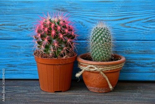 Foto op Canvas Cactus two cactus in brown pots near the blue wall