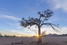 Acasia Tree At Sunrise