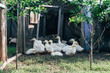 Many small domestic ducklings on the poultry yard