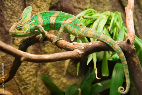 Staande foto Kameleon Chameleon in the terrarium of the botanical garden.