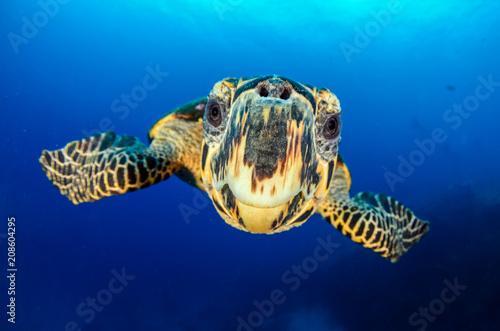 Foto op Plexiglas Schildpad Hawksbill sea turtle (eretmochelys imbricata)