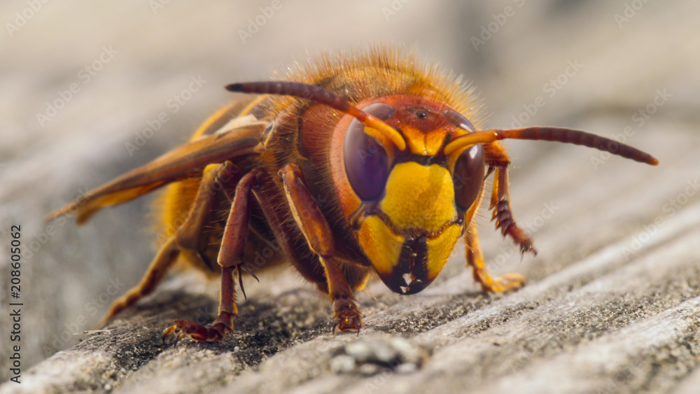 Fototapeta hornet sting close up details of fear inducing insect