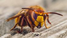 Hornet Sting Close Up Details ...