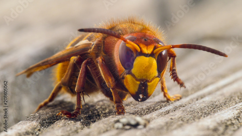 Stampa su Tela hornet sting close up details of fear inducing insect