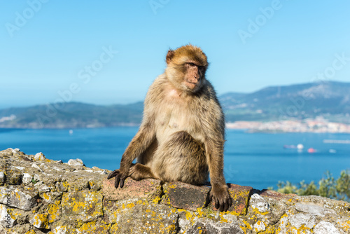 Foto op Plexiglas Aap Barbery Ape or Gibraltar monkey sitting on a wall at the top of The Rock of Gibraltar against a vivid scenic seascape