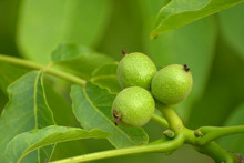 Juglans Regia. Young Walnut Fr...