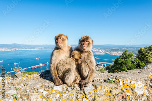 Staande foto Aap Famous wild Barbary macaques family that are relaxing in Gibraltar Rock