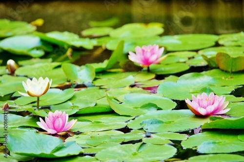In de dag Waterlelies ピンクのスイレン
