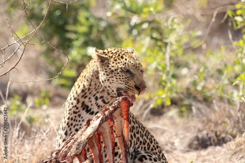 Spoed Foto op Canvas Luipaard leopard eating a carcass