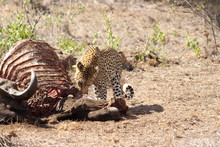 Leopard Eating A Carcass