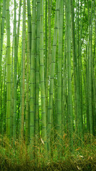 Šuma zelenog bambusa u japanskom zen vrtu