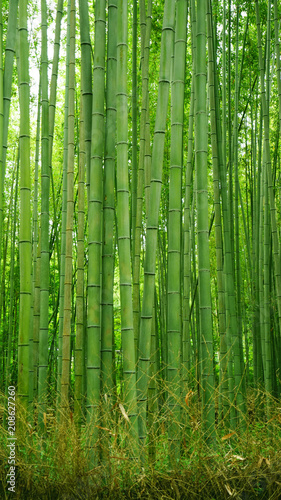 Spoed Foto op Canvas Bamboo Ggreen bamboo plant forest in Japan zen garden