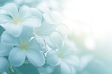 Bloom Plumeria Flowers In The ...
