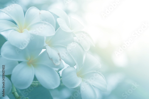 Poster Frangipani Bloom plumeria flowers in the morning
