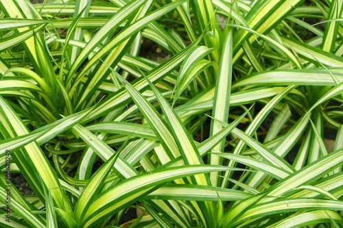 Fényképezés Decoration Chlorophytum Comosum Plants in The Garden