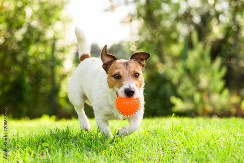 Happy Jack Russell Terrier pet dog playing with toy at back yard lawn © alexei_tm