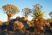 Morning Sun Hits  Aloe Quiver Trees And Rugged Rocky Terrain Of Quiver Tree Forest
