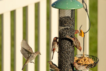 House Finches Crowd Around A Backyard Bird Feeder In Summer