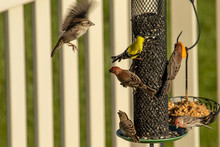 American Goldfinch And House Finches Crowd Around A Backyard Feeder