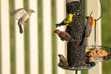 American Goldfinch And House F...