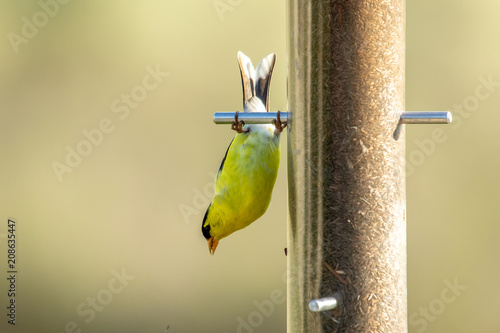 American goldfinch hangs upside down to eat from a thistle feeder Fototapet