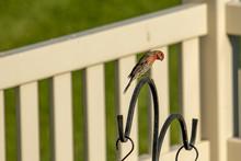 A House Or Purple Finch Perches Above A Backyard Bird Feeder