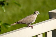 A Eurasian Collared-dove Perch...