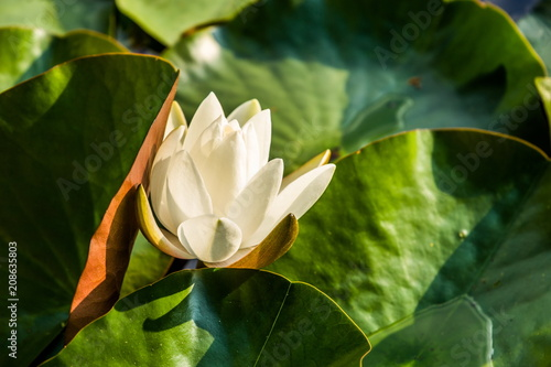 Fotobehang Waterlelies White water lily in summer pond
