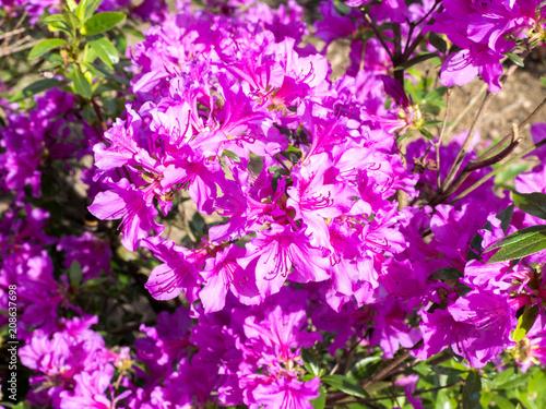 Foto op Canvas Azalea beautiful colorful flowers of azaleas