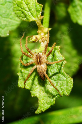Close-up of a multicolored spider of the family Lycosidae on a leaf of a nettle Canvas Print