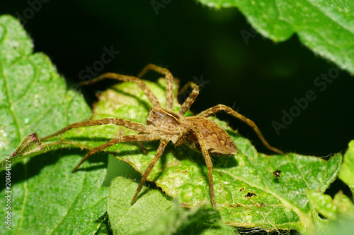 Photo Macro of a fluffy spider of a wolf family Lycosidae on a leaf of a nettle