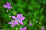 Fototapeta Kwiaty - Dzwoniki polne na zielonym tle