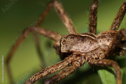 Macro of Caucasian fluffy spider from the genus Lycosidae of stray hunters Canvas Print