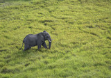 Fototapeta Sawanna - Aerial View of Large Male Elephant Walking Through the Tall Grasses on the Savannah in Botswana