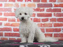 Coton De Tulear Dog Portrait I...