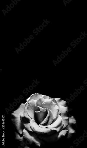 Fototapety, obrazy: Black and white rose on black background