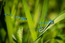 Damselflies Waiting With A Thi...