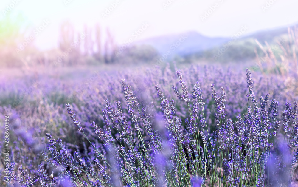 Lavender field in Provence. French landscape at ultra violet tone and soft light effect. Lavender flowers at sunlight in a soft focus, pastel colors and blur background.