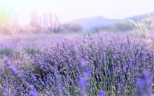 Lavender Field In Provence. Fr...