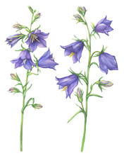 Branch With Lilac Garden Flowers Of Cam­panula Persicifolia (also Known As Bluebell, Harebell, Lady's Thimble). Watercolor Hand Drawn Painting Illustration Isolated On A White Background.