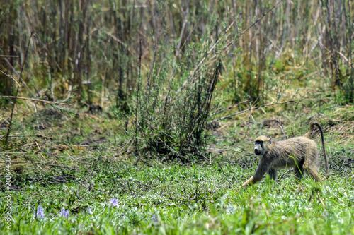 Fotografie, Obraz  Chacma Baboon along riverbank. Papio ursinus