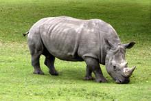 Two Horned Rhinoceros