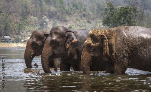 Elephants in water Canvas Print