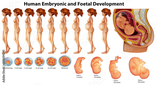 Fotografia, Obraz  Vector of Human Embryonic and Foetal Development