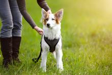 Junger Hund Oder Welpe Steht Auf Einer Wiese, Frau Mit Leine Steht Daneben