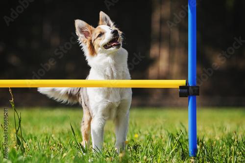 Canvastavla Kleiner Hund oder Welpe steht vor einer Hürde, Übungen mit einem Hindernis